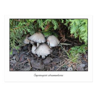 Photo Coprinopsis atramentaria Postcard