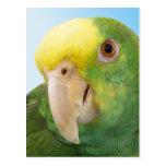 Photo Double Yellow Headed Amazon Parrot Post Card