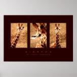 Photo -  Giraffe Posters