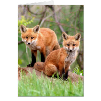 Photo of adorable red fox kits card