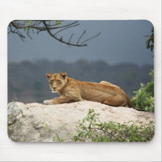 Photo of African lion lying on rock in nature Mouse Pad