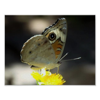 Photo of Buckeye Butterfly on a Yellow Flower Poster