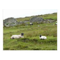 Photo of Irish sheep in Connemara Postcard