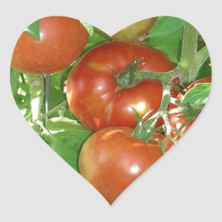 Photo of ripe red tomatoes on the vine. heart sticker