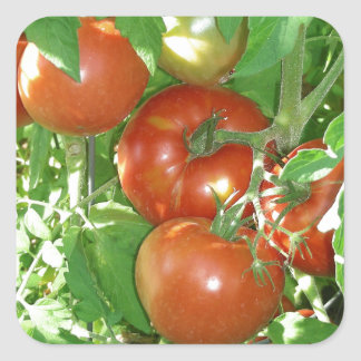 Photo of ripe red tomatoes on the vine. square sticker