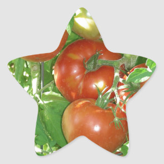 Photo of ripe red tomatoes on the vine. star sticker