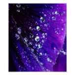 Photo of Water drops on purple flower Poster