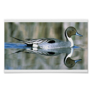 Photo poster of pintail duck swimming