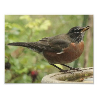 Photo Print of American Robin