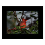 Photo Print of Cardinal 8x10