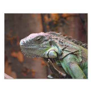 Photo print with colourful Iguana lizard