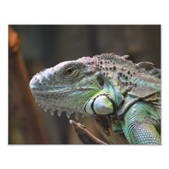 Photo print with head of a colourful Iguana lizard