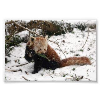 Photo - red panda 2