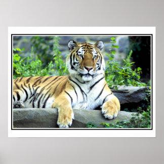 Photo Siberian tiger Poster