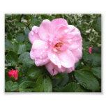 Photo - Soft Pink Rose