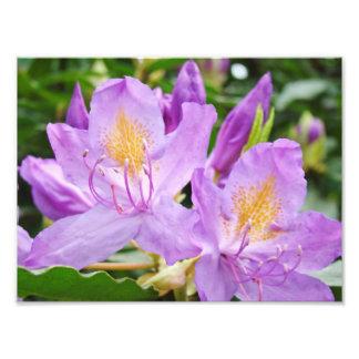 Photograhpy floral imprime los rododendros púrpura fotos