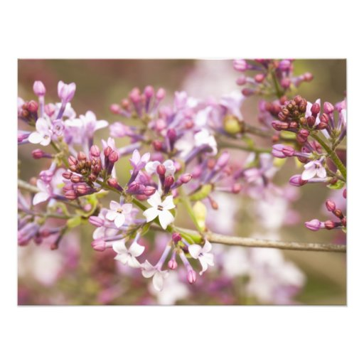 Photograph of Spring Lilac Blossoms