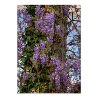 Photograph of Wisteria Poster