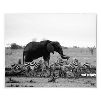 Photographic Print Elephant & Zebras Photo Print