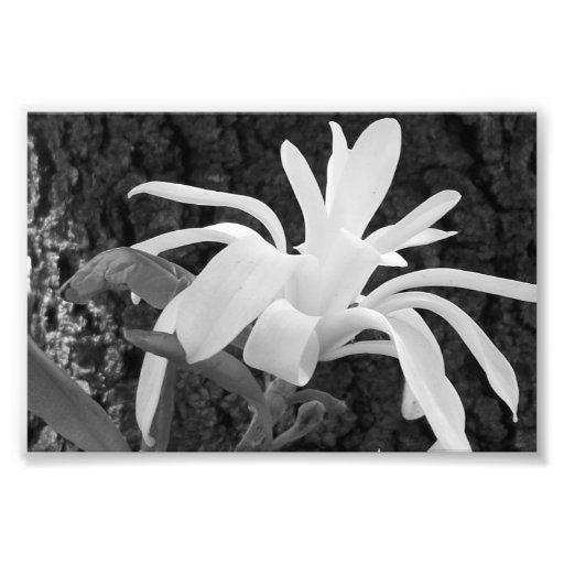 Photographic Print Star Magnolia