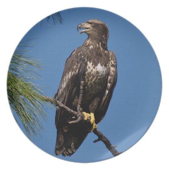 Photographs : birds - dinner plate