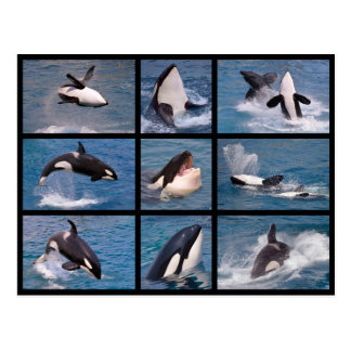 Photos mosaic of killer whales postcard