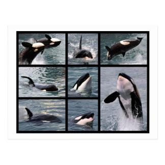 Photos multiple of killer whales postcard