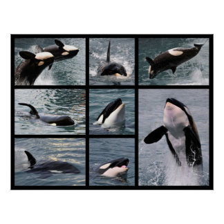 Photos multiple of killer whales posters