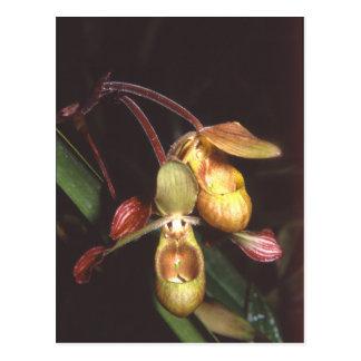 Phragmipedium sargentianum postcard