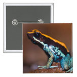Phyllobates vittatus, a poison arrow frog 2 inch square button