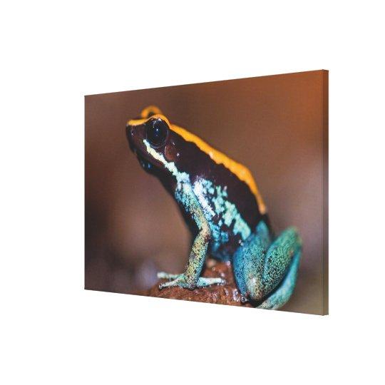 Phyllobates vittatus, a poison arrow frog canvas print