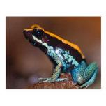 Phyllobates vittatus, a poison arrow frog post card