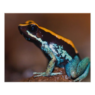 Phyllobates vittatus, a poison arrow frog poster