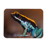 Phyllobates vittatus, a poison arrow frog rectangular photo magnet