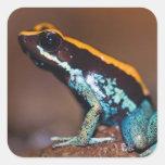 Phyllobates vittatus, a poison arrow frog square stickers