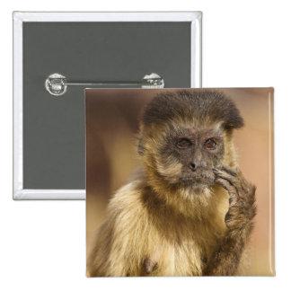 Piaui, Brazil, Brown Capuchin, Cebus apella, Button