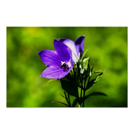 picadura de abeja púrpura de la flor de globo Harv Póster