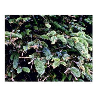 Picea de florecimiento de Sitka Postal