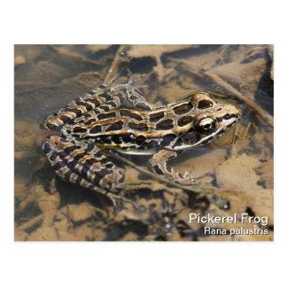 Pickerel Frog Postcard