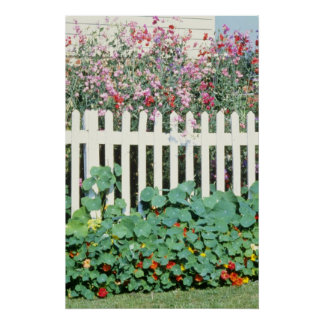 Picket Fence With Sweet Peas And Nasturtium Poster