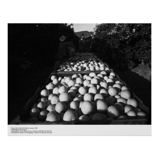 Picking Citrus, January 1956 by Ansel Adams Poster