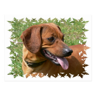 Picture of a Dachshund Dog Postcard