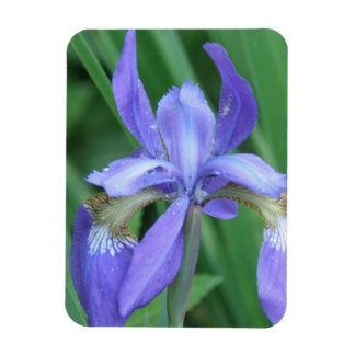 Picture of an Iris  Premium Magnet Magnets