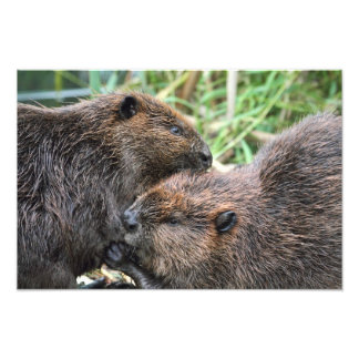 Picture of Beavers Grooming Photograph