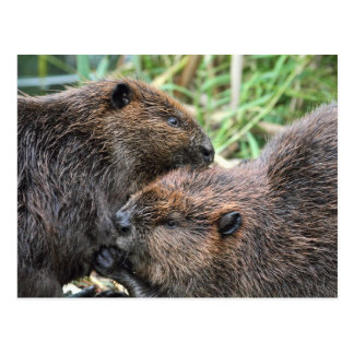 Picture of Beavers Grooming Postcard