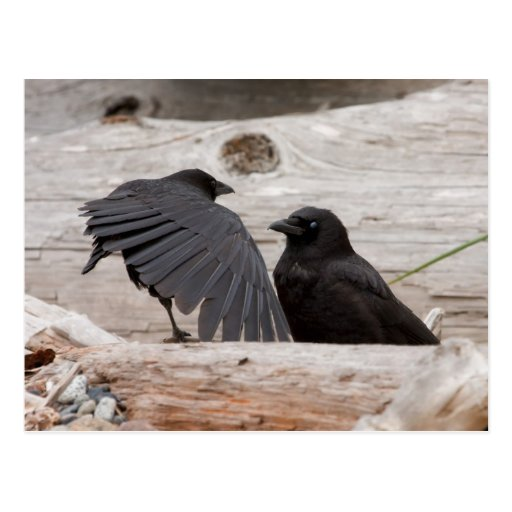 Picture of Crows Post Cards