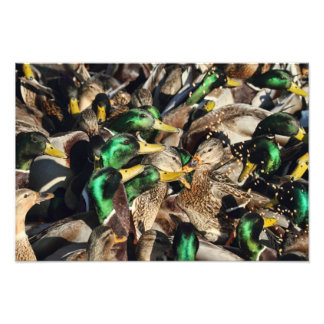 Picture of Ducks in a Crowd Photographic Print