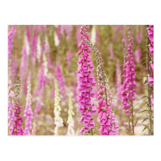 Picture of Foxgloves Postcard