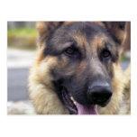 Picture of German Shepherd  Postcard