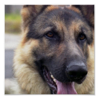 Picture of German Shepherd Poster